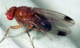 Neue Fliegenart bedroht Osttirols Obsternte