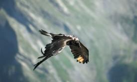24 Bartgeier fliegen in den österreichischen Alpen