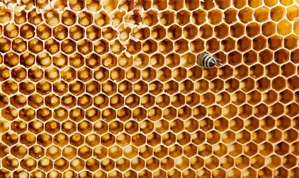 Varroa bedroht immer mehr Bienenvölker. Foto: Ramona Waldner
