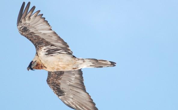 bartgeier-altvogel_michael-knollseiesen_2013