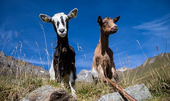Osttiroler Ziegen sind durchaus hochgebirgs- und wintertauglich. Sie könnten – einigermaßen gute Witterung vorausgesetzt – auch selbst den Weg nach unten finden. Foto: Expa/Groder