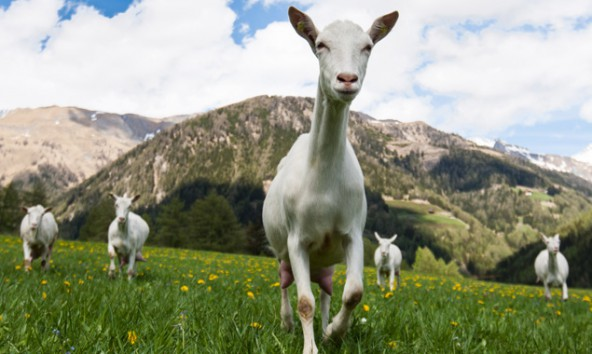 Von einem Leben auf saftigen Wiesen können die tausende Artgenossen der Osttiroler Ziegen nur träumen. Foto: Expa/Groder
