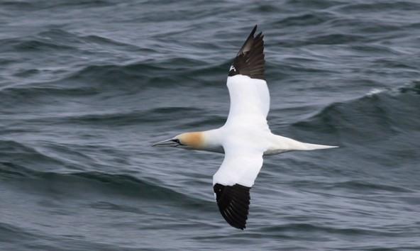 4xx Vogelarten gibt es auf Helgoland. Foto: NAGO