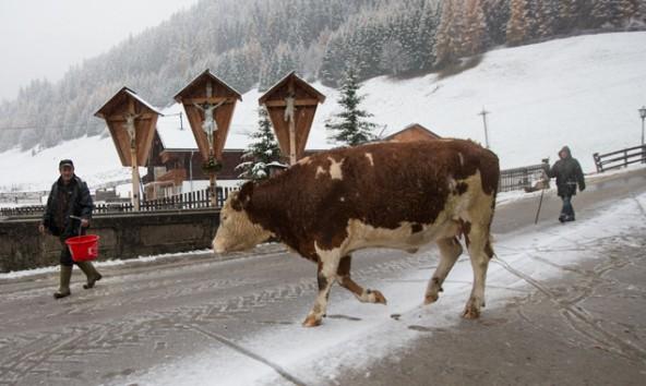 Auslauf ist gut für die Kuh, aber im Hochgebirge schneebedingt nicht immer einfach umzusetzen. Foto: Expa/Groder