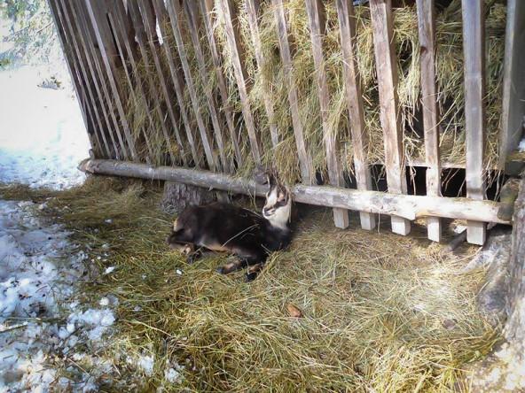 """Im Schutz der Wildfütterung scheint sich das Kitz sichtlich wohl zu fühlen. Dennoch hoffen die Jäger, dass es sich bald einem """"Rudel"""" anschließen kann."""