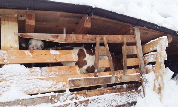 Glück im Unglück hatten die Jungkühe in diesem Stall in Obertilliach. Foto: Brunner Images