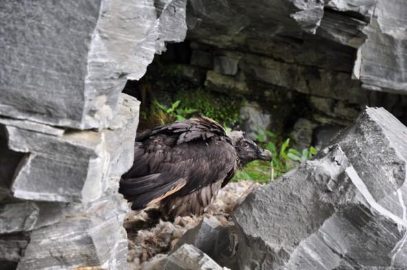 Ein junger Bartgeier im Nationalpark Hohe Tauern. Bald wird er mit den Großen seine Kreise ziehen. Fotos: Nationalpark Hohe Tauern/Knollseisen