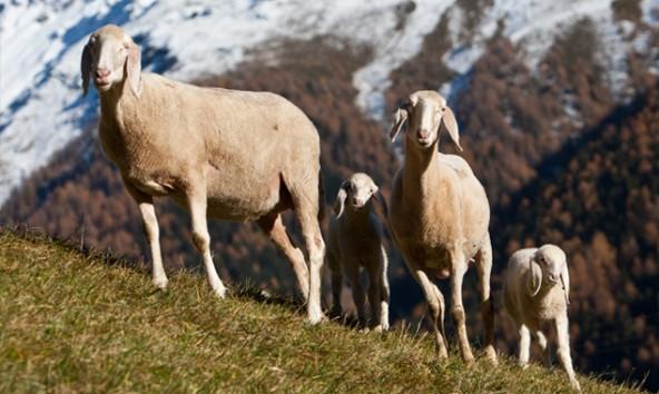 Mit einem Pilotprojekt in der Modellregion Kals will man erproben, wie Herdenschutz im Berggebiet funktioniert. Foto: Expa/Groder