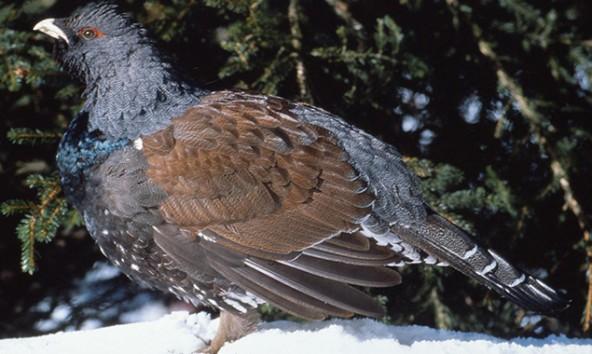 Der Auerhahn ern�hrt sich gerne von Knospen, Baumnadeln, Beeren und Bl�ttern. Foto: Nationalpark Hohe Tauern