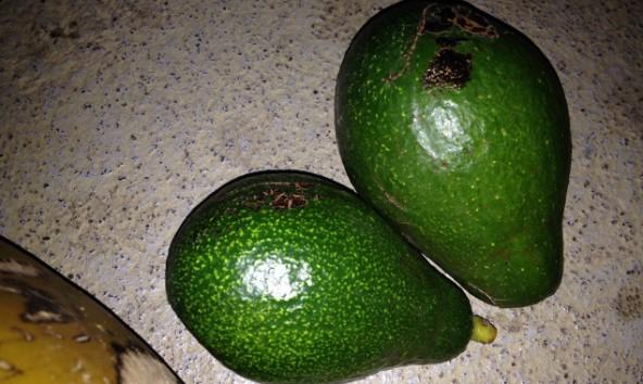 An unserer Universität haben wir unsere eigenen Avocados.