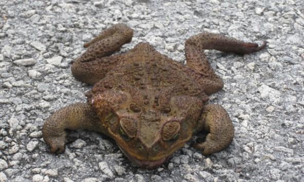 Die Agakröte ist nicht nur groß, sondern hat auch Gift zu ihrer Verteidigung.