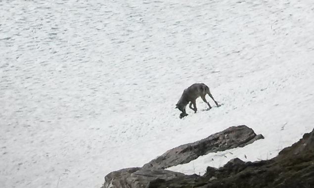 """Der junge """"Osttiroler"""" Wolf sorgt seit Tagen für Aufregung. Foto: Privat/NPHT"""