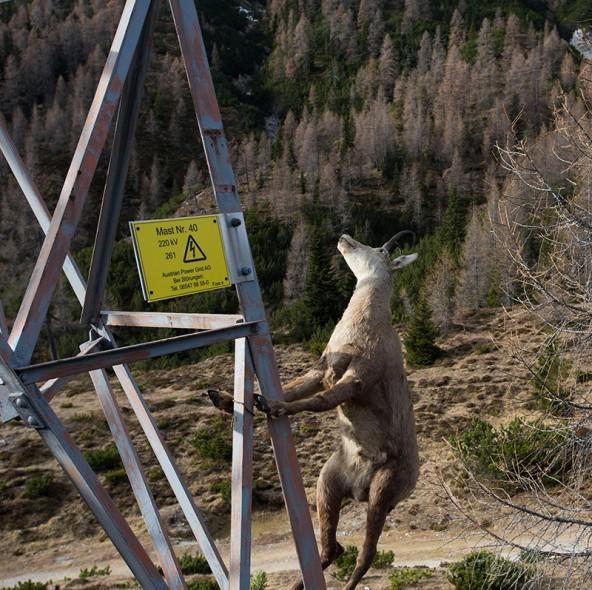 Was das wohl ist? Das haben sich die Gämsen angesichts des Strommastens auf dem Kofel immer schon gefragt.