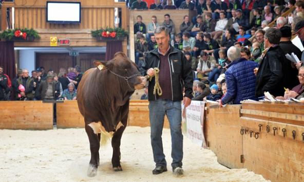 45 Pinzgauer-Stiere wurden beim Herbststiermarkt verkauft. Foto: Rinderzuchtverband.