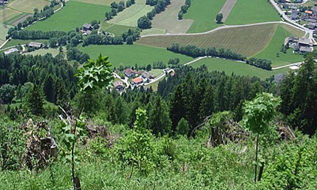 Bereits seit 1991 wird in Thurn konzentriert an der Wiederaufforstung des Schutzwaldes gearbeitet.
