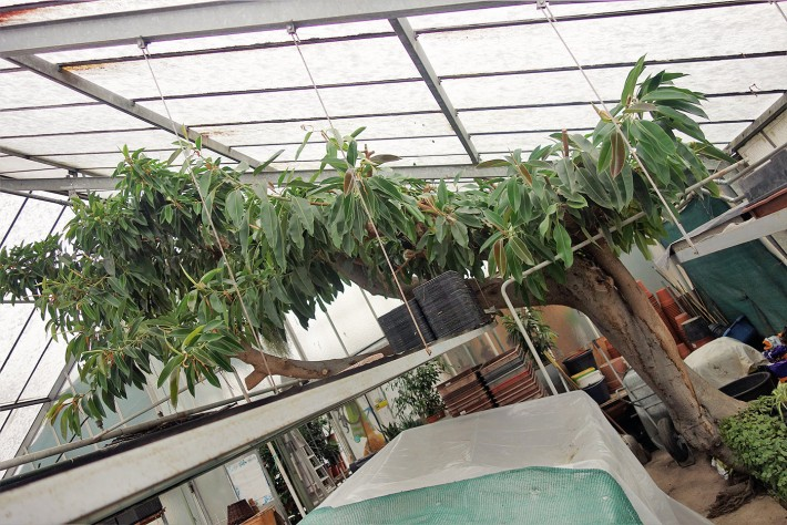 gummibaum-im-glashaus